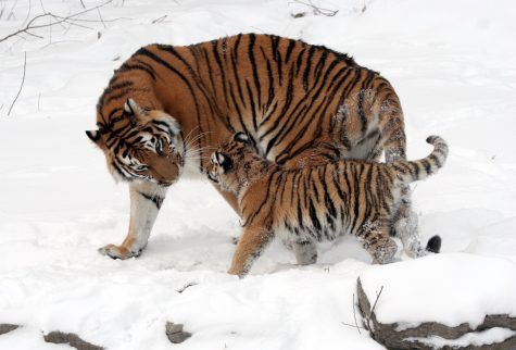 """Do You Have A """"Tiger Mom""""?"""