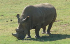 The World's Last Male Northern White Rhino Is Sick