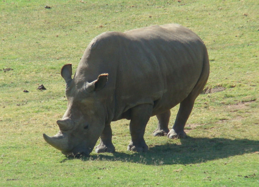 The+Northern+White+Rhino+is+at+risk+of+extinction.%0A
