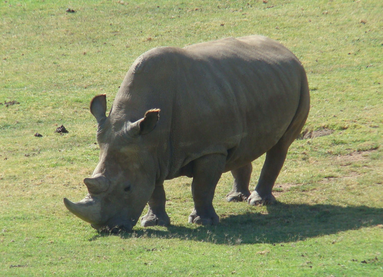The Northern White Rhino is at risk of extinction.
